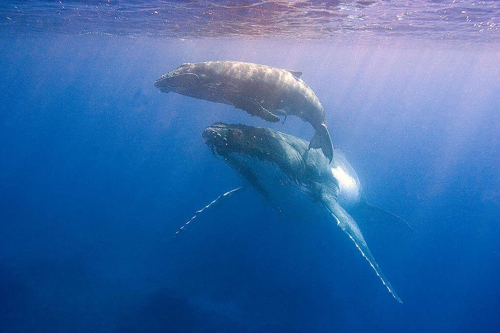 casal de baleias-jubarte © Scott Portelli
