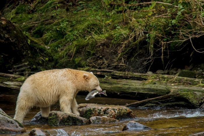 Urso na beira do lago com um peixe na boca