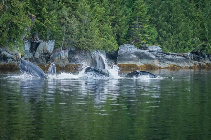 Grupo de baleias realiza movimentos na superfície, próximo à costa