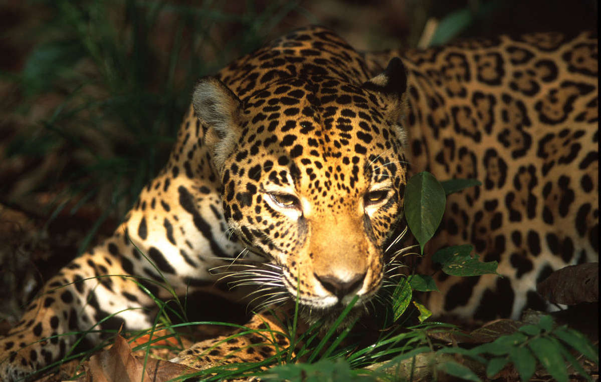 Amazon Jaguar Documentation (Brazil : 2001). © Rodrigo Baléia