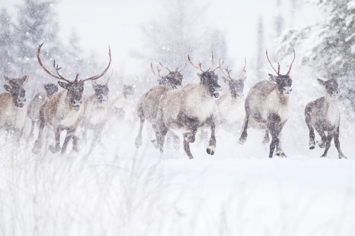 Um grupo de caribus sobre a neve