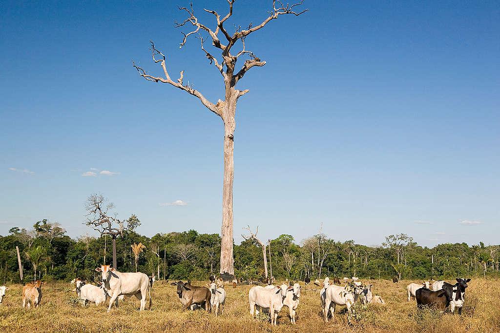 Criação de gado em área desmatada no Mato Grosso. A atividade pecuária ainda é uma das maiores causadoras de desmatamento na Amazônia brasileira