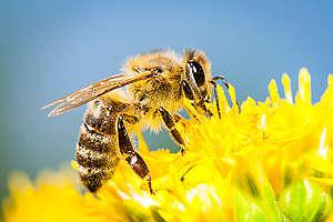 As abelhas são essenciais para a produção de alimentos