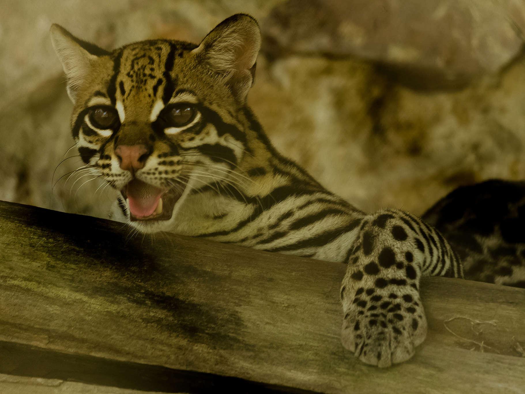 Jaguatirica (Leopardus pardalis) é um dos mamíferos do topo da cadeia alimentar área da Serra do Espinhaço