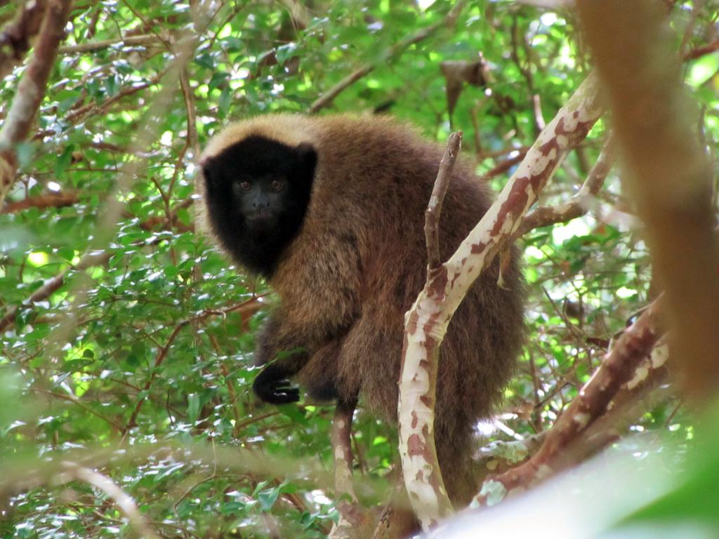 O sauá (Callicebus personatus) é um primata típico da Mata Atlântica