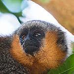 Espécie de macaco recém-descoberta já corre risco de extinção