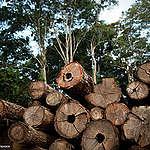 Ao desautorizar ação contra madeira ilegal, Bolsonaro premia crime ambiental na Amazônia