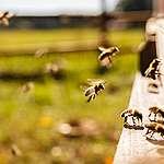 Hoje é o Dia Mundial das Abelhas