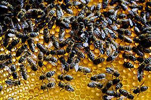 abelhas em colmeia