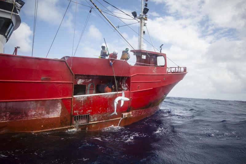 Navio de pesca tira tubarão do mar