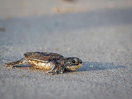 Baby Leatherback Sea Turtle in French Guiana. © Jody Amiet / Greenpeace