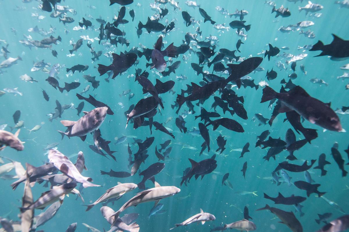 Cardume fotografado embaixo da água; peixes são da mesma espécie e mesma cor e nadam em diferentes sentidos