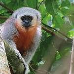 Queimadas ameaçam espécie de macaco endêmica do MT