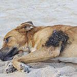 cachorro deitado na areia com mancha de petróleo no corpo