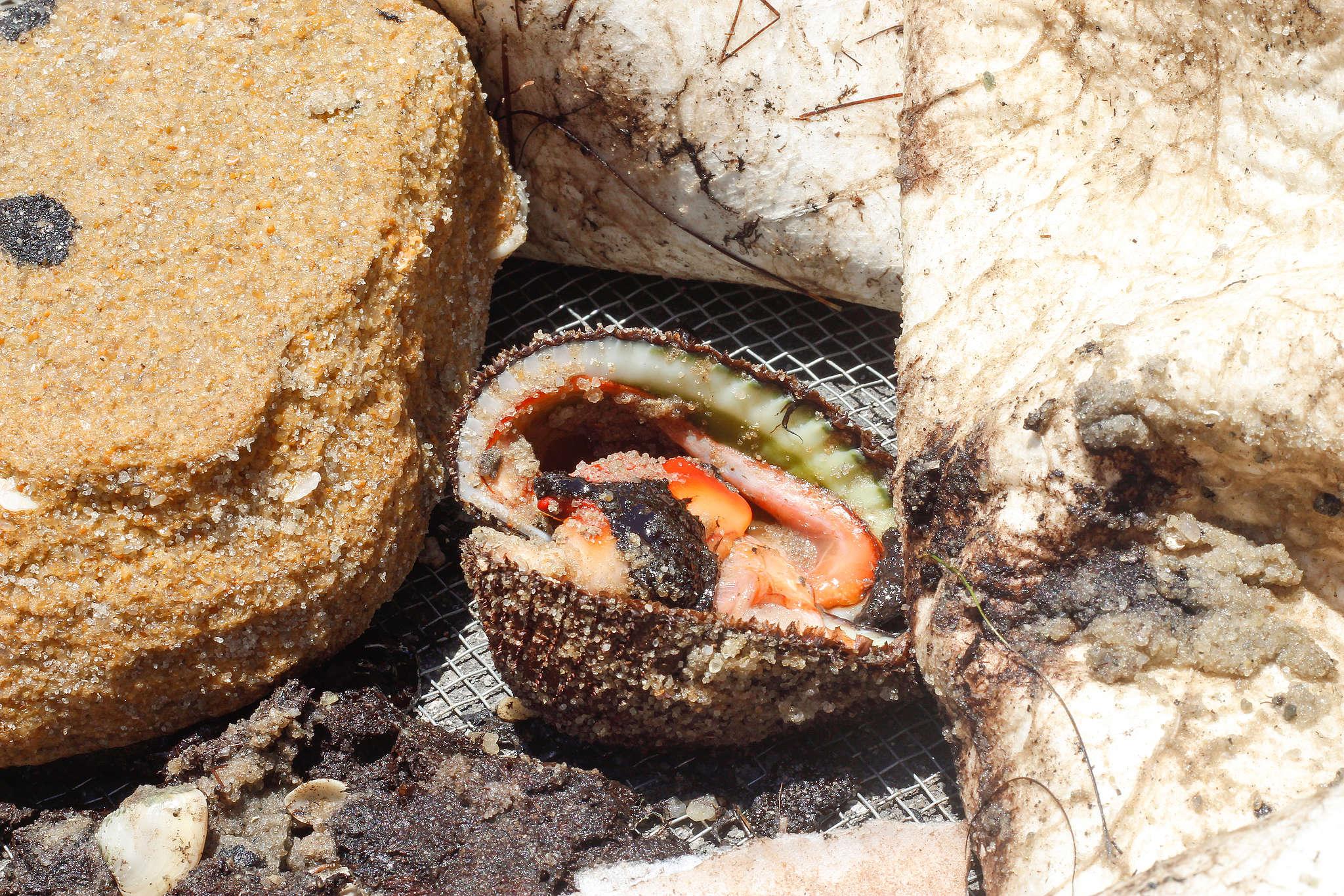 Concha com óleo coletada pelos pescadores em Suape, Pernambuco