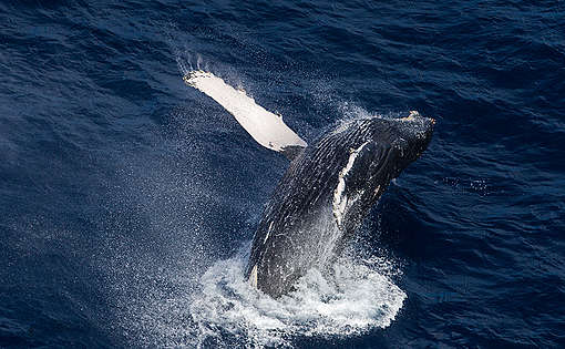 baleia-jubarte nadando no oceano