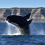 Por que as baleias estão em risco?