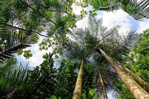 Bailique Community Harvesting Acai in Rainforest in Amapá. © Diego Baravelli / Greenpeace