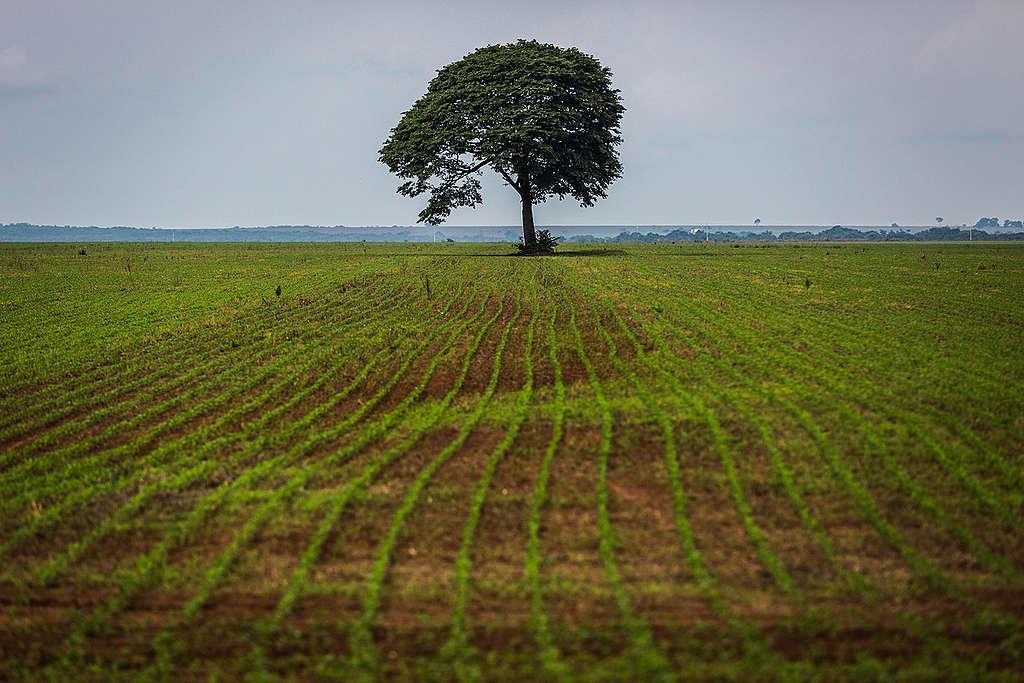Uma árvore solitária interrompe o infinito padrão de linhas formado pelos brotos de soja, em Nova Mutum, no Mato Grosso. Ali não há mais lugar para a floresta.