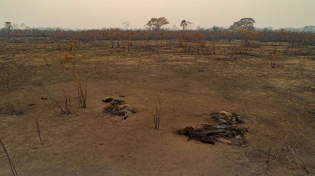 Queimadas no Pantanal, Brasil - Setembro de 2020. © Rogerio Florentino / Greenpeace