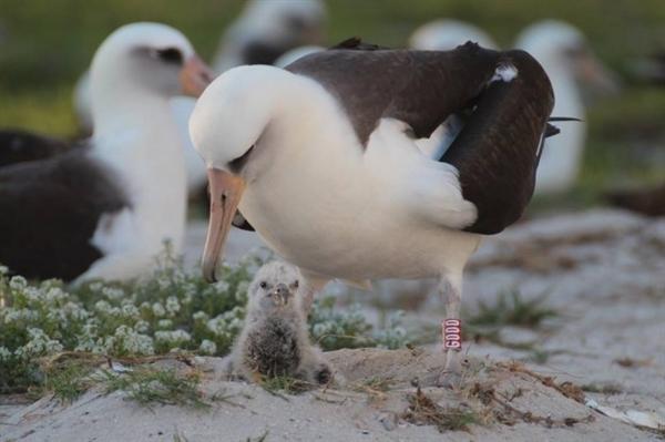 Най-старата дива птица в света - албатросът Мъдрост и нейното малко