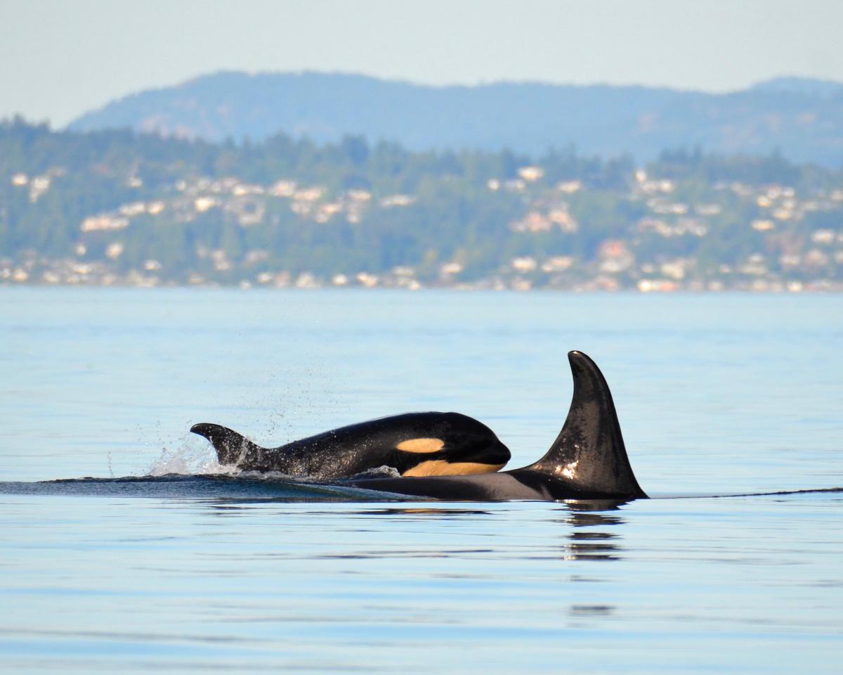 Orcas J53 and J17 Surface In Washington. © Monika Wieland Shields