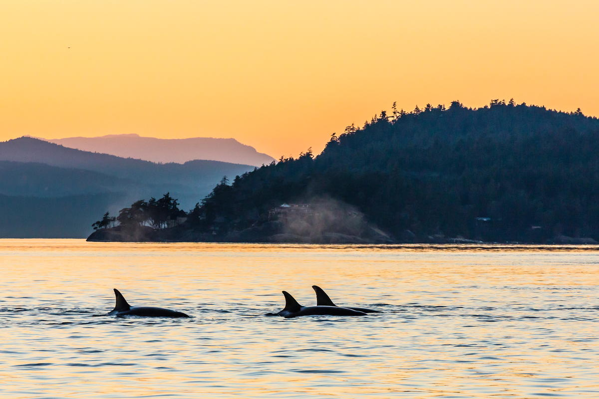 Orcas in the Wild in Canada. © Michael S. Nolan