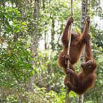 Orangutans at BOS Nyaru Menteng Orangutan Rescue Center in Indonesia. © Bjorn Vaugn