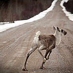 One more year of inaction for the boreal caribou