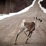 RÉACTION: Protection pour le caribou: manque de volonté politique