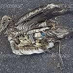AVIS AUX MÉDIAS: Installation Artistique: une maman albatross nourrit son petit avec des déchets plastiques