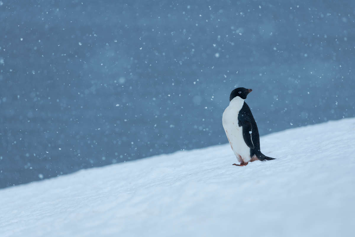 Adélie Penguin in the Antarctic. © Christian Åslund