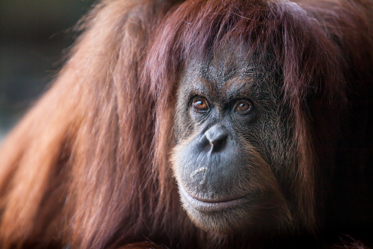 Orangutan at Melbourne Zoo. © Tom  Jefferson