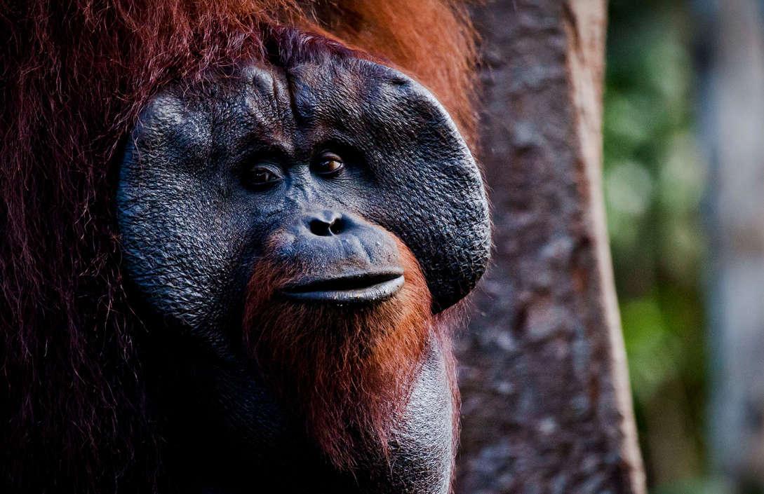 Orangutan at Tanjung Puting National Park. © Ulet  Ifansasti