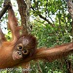 COMMUNIQUÉ: Le fabricant des biscuits Oreo lié à la destruction de l'habitat des orangs-outans en Indonésie
