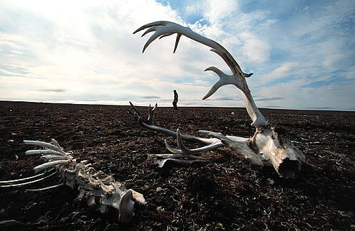 Greenpeace Investigating Peary Caribou Deaths due to Climate Change. © Steve Morgan