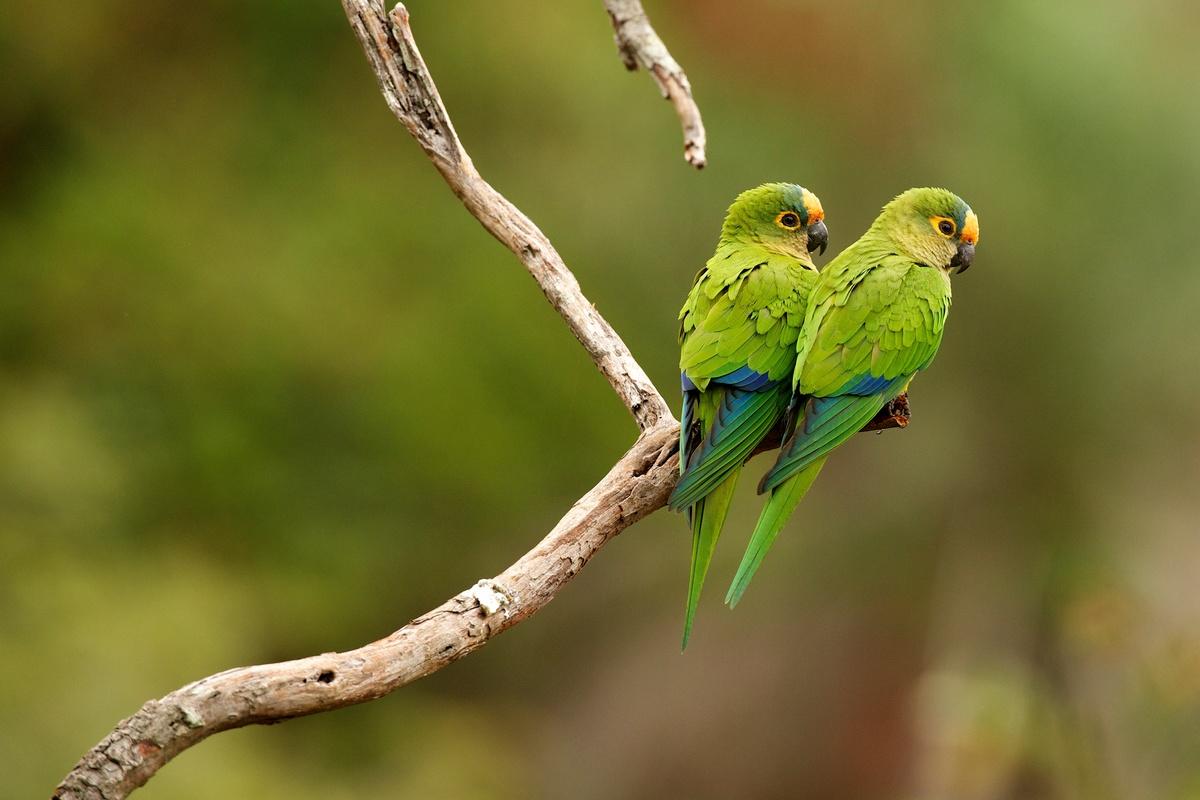Parrots in Brazilian Rainforest. © Markus Mauthe