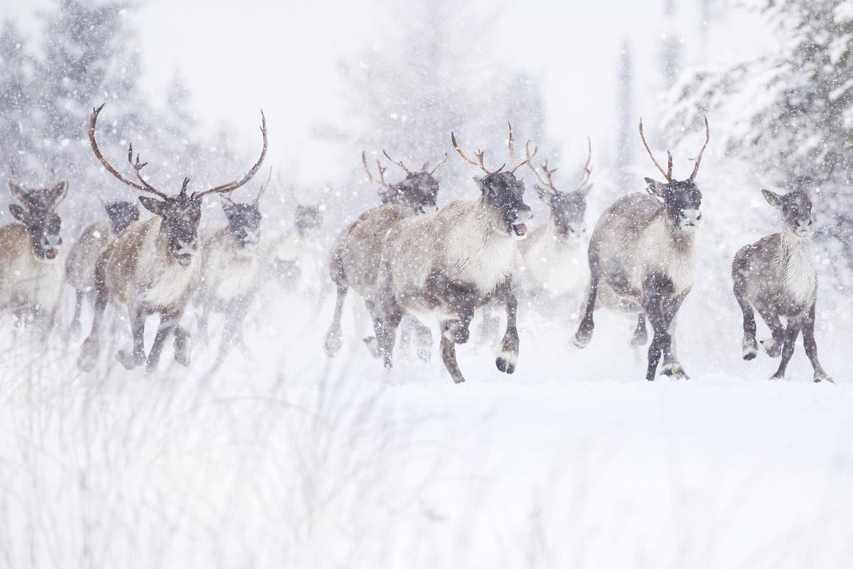 Woodland Caribou in Canada. © Jean-Simon Bégin