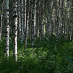 """Young """"illegal"""" forest on agricultural lands"""