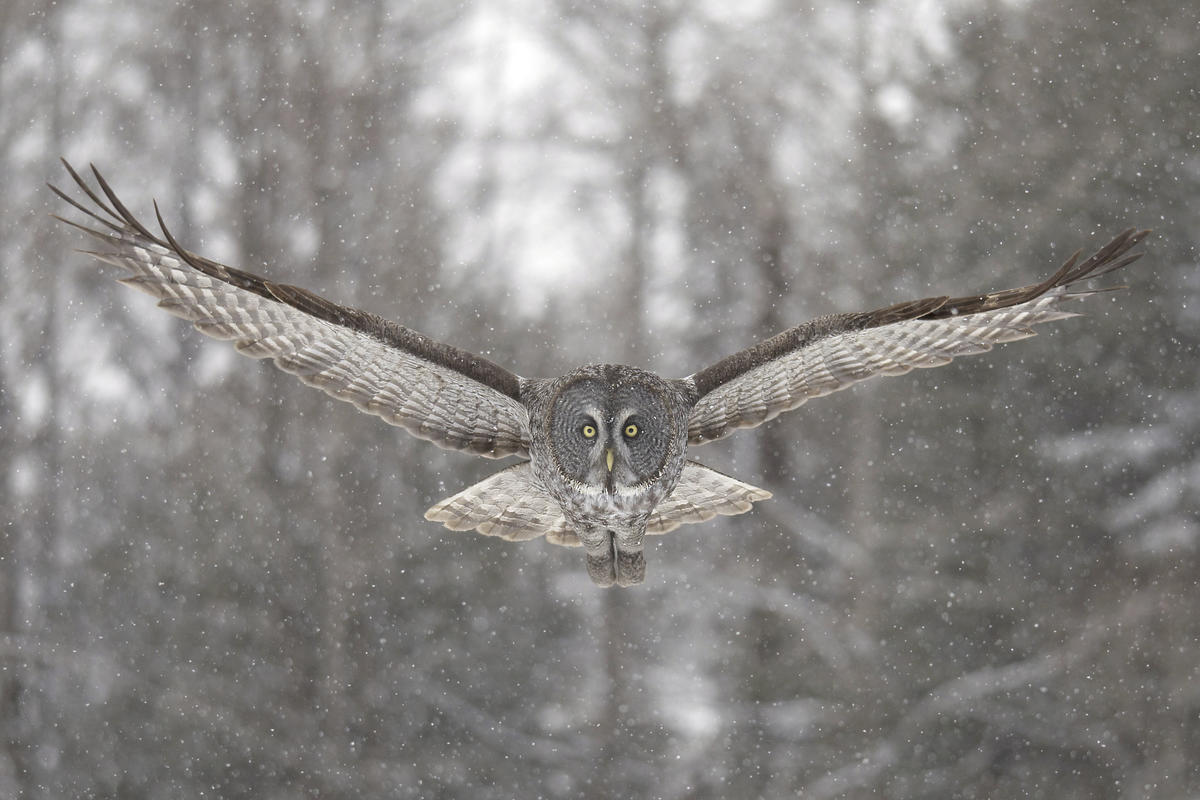 Great Gray Owl in Canada. © Jean-Simon Bégin