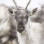 A boreal caribou
