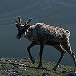 Caribou migrating back to winter grounds from coastal plain, Alaska, USA Rest: Caribou. © Greenpeace / Steve Morgan