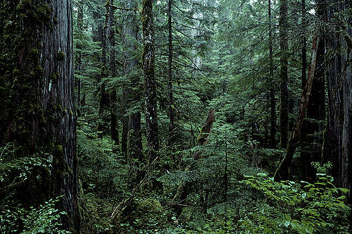 Temperate forest. British Columbia, Canada. © Greenpeace / Takeshi Mizukoshi