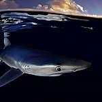Blue Shark near the Azores. © Robert Marc Lehmann / Greenpeace