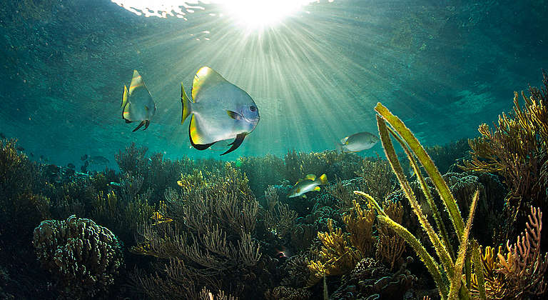 Batfish in Komodo National Park. © Paul Hilton / Greenpeace