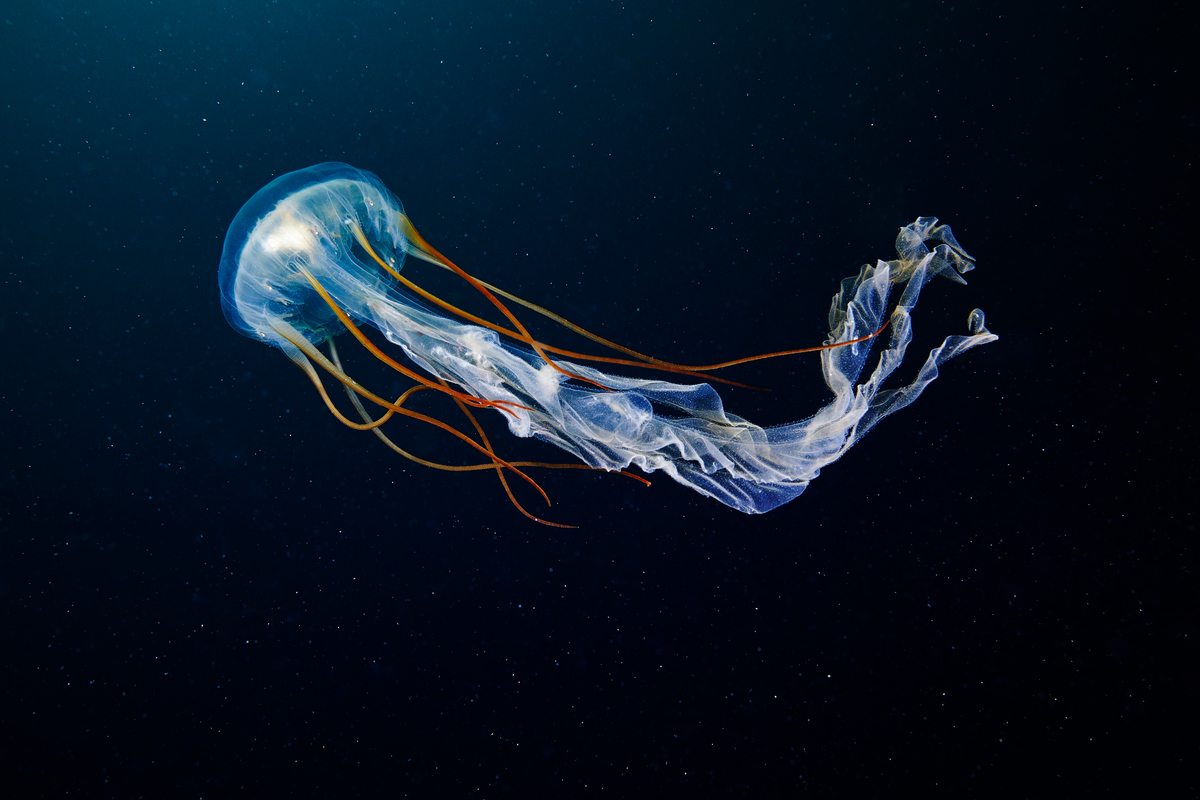 Scyphozoan Jellyfish in the Arctic. © Alexander Semenov