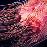 Lion's Mane Jellyfish in the Arctic. © Alexander Semenov