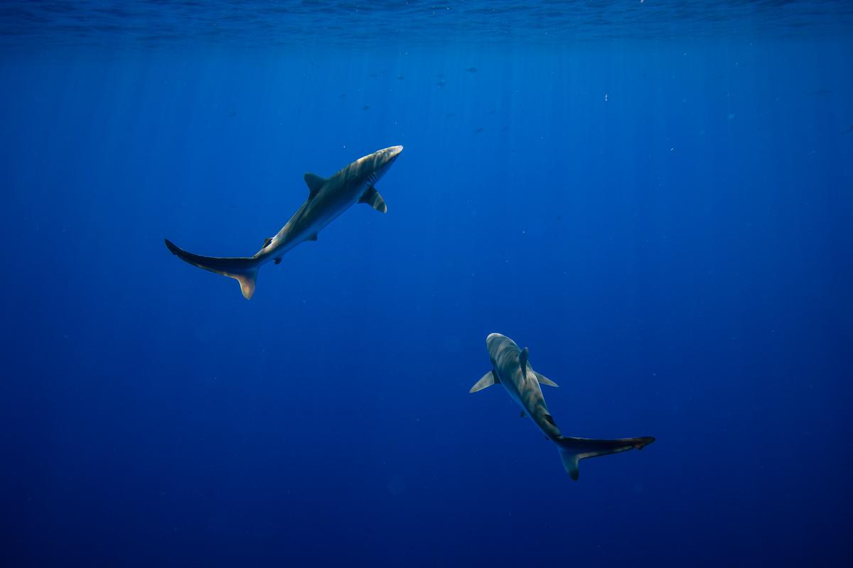 Silky Sharks near a FAD in the Indian Ocean. © Will Rose / Greenpeace