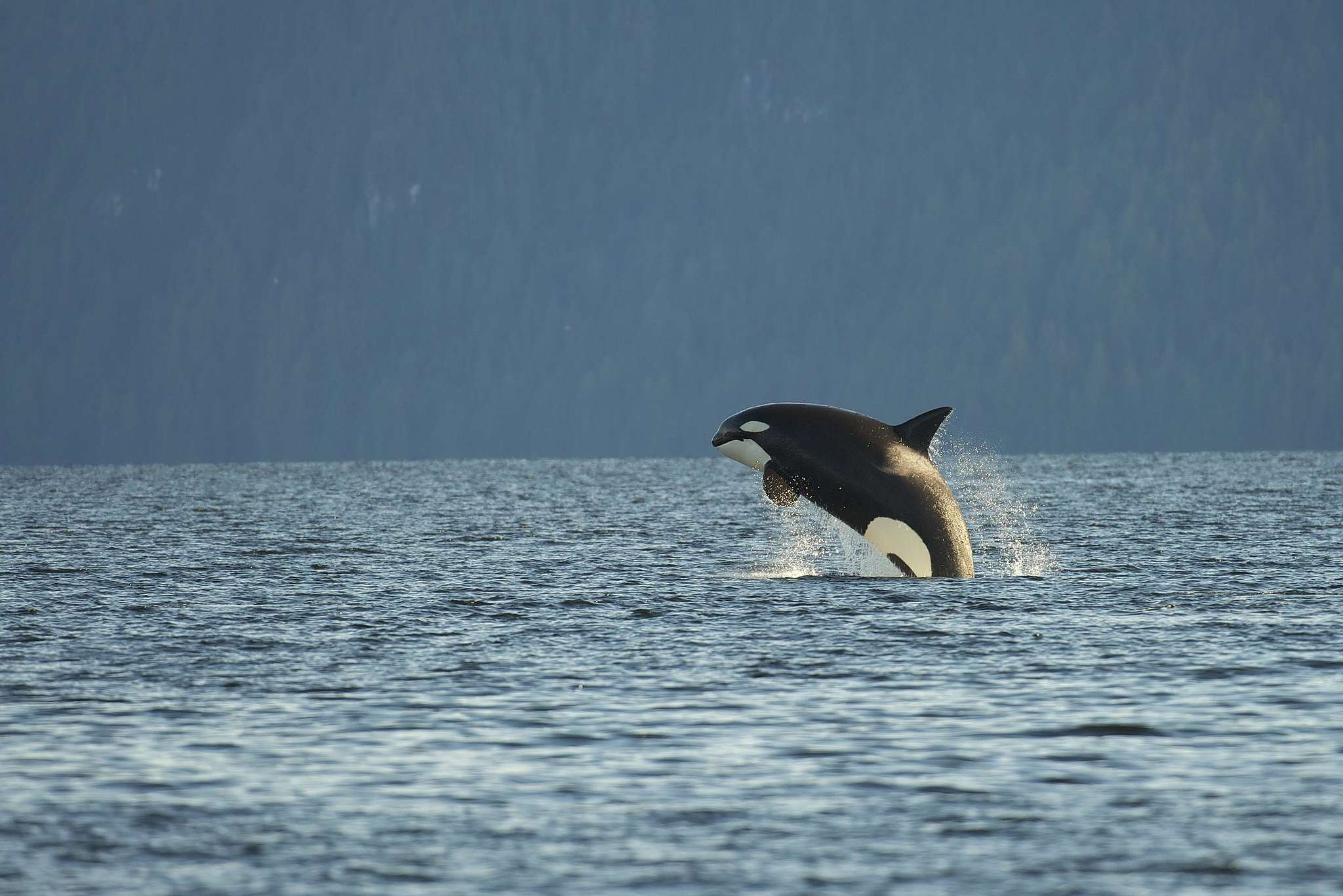 Orca Whale in Great Bear Rainforest in Canada