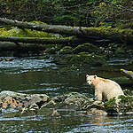 Spirit Bear in Great Bear Rainforest. © Andrew Wright / www.cold-coast.com
